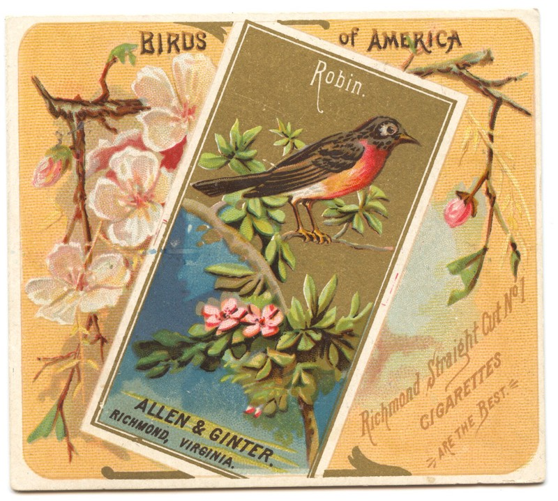 N37 Allen & Ginter Birds of American - Robin