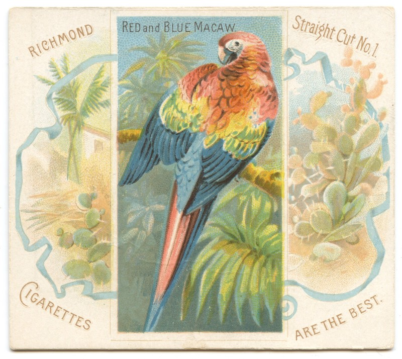 N38 Allen & Ginter Red and Blue Macaw