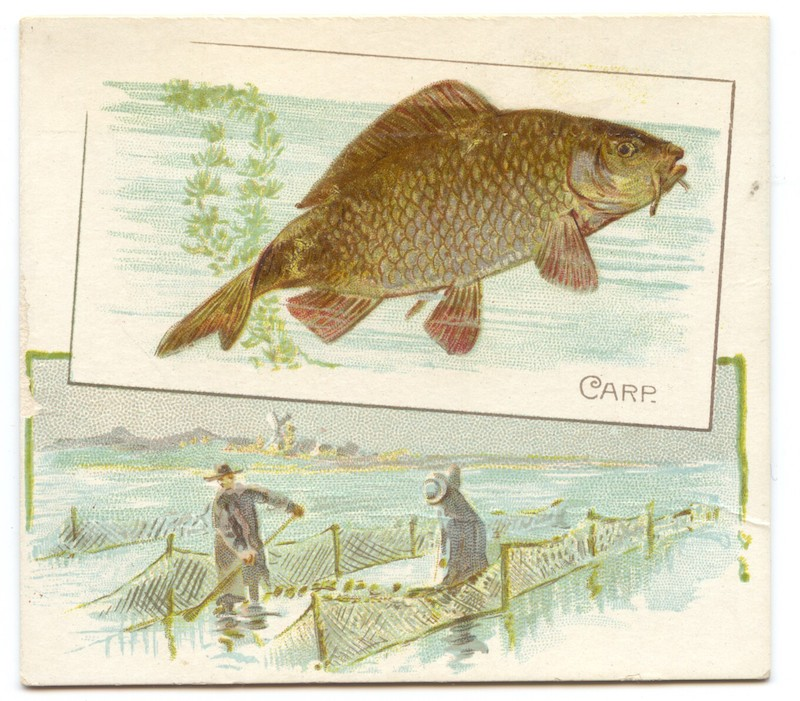 N39 Allen & Ginter Fish from American Waters - Carp