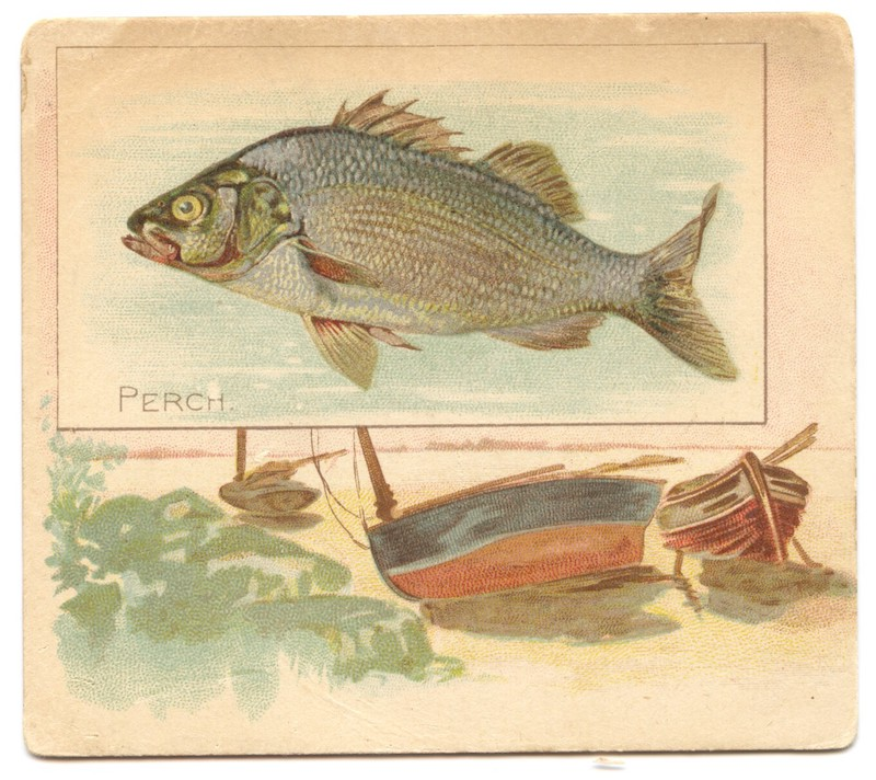 N39 Allen & Ginter Fish from American Waters - Perch