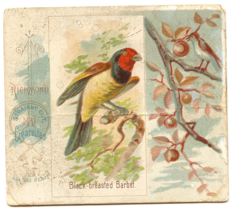 N42 Allen & Ginter Black-breasted Barbet