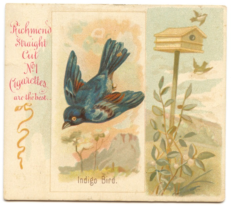 N42 Allen & Ginter Indigo Bird