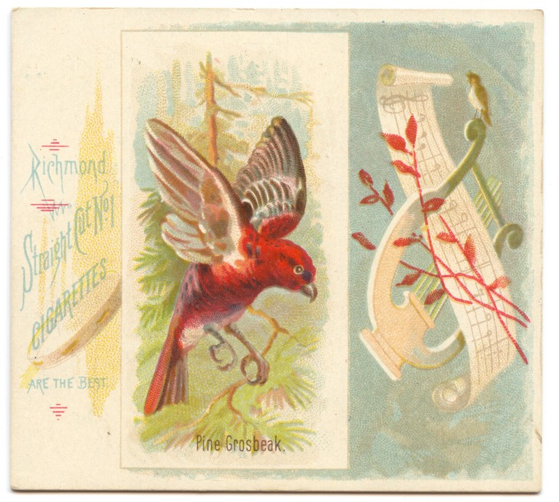 N42 Allen & Ginter Pine Grosbeak