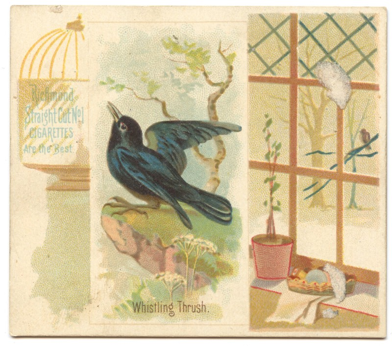 N42 Allen & Ginter Whistling Thrush